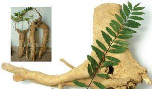 cây mật nhân có tác dụng chữa bệnh gì